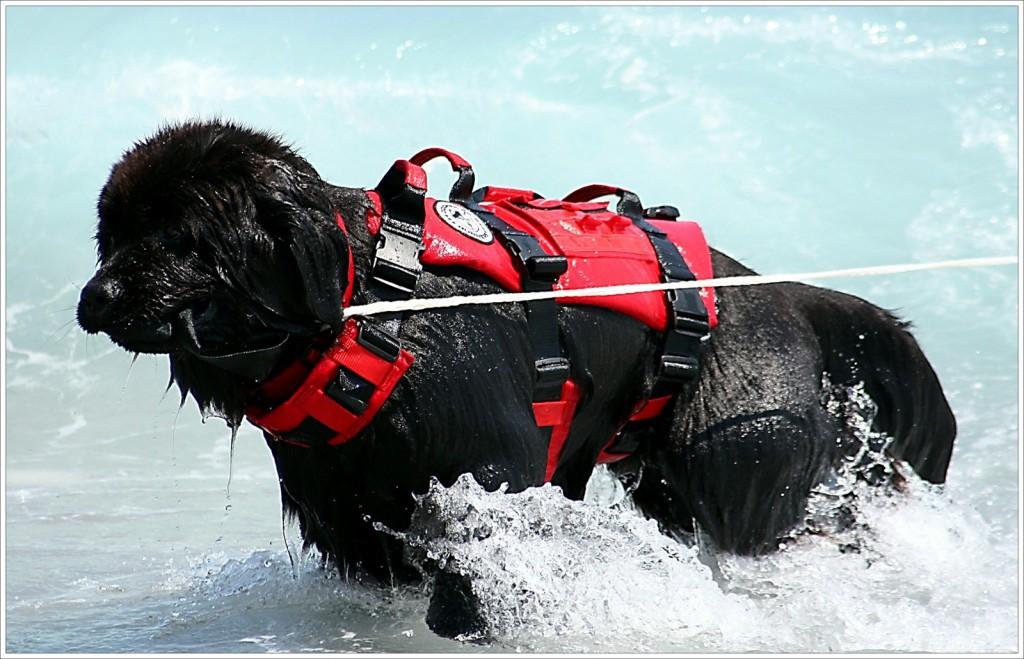 Le Terre Neuve, un chien aussi impressionnant qu'adorable